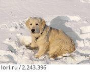 Купить «Веселый щенок. Золотистый ретривер (англ. Golden Retriever)», фото № 2243396, снято 23 декабря 2010 г. (c) Валерия Попова / Фотобанк Лори