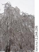 Купить «Обледеневшие ветви березы в Подмосковье», фото № 2244296, снято 26 декабря 2010 г. (c) Цветков Виталий / Фотобанк Лори