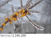 Купить «Облепиха во льду», фото № 2246288, снято 26 декабря 2010 г. (c) Новикова Екатерина / Фотобанк Лори