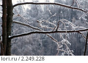 Купить «Заледеневшие веточки дерева на фоне леса», эксклюзивное фото № 2249228, снято 28 декабря 2010 г. (c) lana1501 / Фотобанк Лори