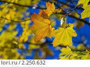 Купить «Осенний клён», фото № 2250632, снято 10 октября 2010 г. (c) Александр Артемьев / Фотобанк Лори