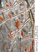 Купить «Обледенелые ветви после ледяного дождя», эксклюзивное фото № 2253272, снято 27 декабря 2010 г. (c) lana1501 / Фотобанк Лори