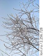 Обледенелые ветки дерева на фоне неба. Стоковое фото, фотограф Ольга Пашкова / Фотобанк Лори