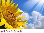 Купить «Подсолнух на фоне облаков и синего неба», фото № 2258732, снято 11 августа 2010 г. (c) Икан Леонид / Фотобанк Лори