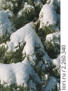 Купить «Заснеженные ветки сосны с обледеневшими иголками», фото № 2260340, снято 5 января 2011 г. (c) jul_st / Фотобанк Лори