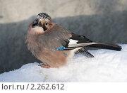 Сойка зимой. Стоковое фото, фотограф Голованова Светлана / Фотобанк Лори