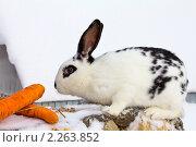 Белый с черными пятнами кролик и морковка. Стоковое фото, фотограф Геннадий Распопов / Фотобанк Лори