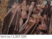 Купить «Колония нильских крыланов (Rousettus aegyptiacus)», фото № 2267520, снято 30 июня 2010 г. (c) Иванова Анастасия / Фотобанк Лори