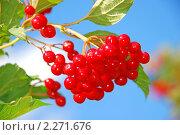 Купить «Калина красная на небесном фоне», фото № 2271676, снято 21 августа 2009 г. (c) Николай Голицынский / Фотобанк Лори