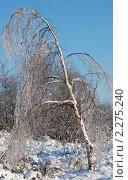 Береза после ледяного дождя. Стоковое фото, фотограф Молчанов Сергей / Фотобанк Лори