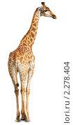 Купить «Жираф африканский, Giraffa cameleopardalis, Giraffe», фото № 2278404, снято 3 сентября 2009 г. (c) Василий Вишневский / Фотобанк Лори