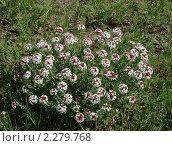 Купить «Стеллера карликовая (Stellera Chamaejasme L.)», фото № 2279768, снято 14 июня 2010 г. (c) Валерий Лаврушин / Фотобанк Лори