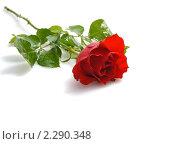 Купить «Красная роза на белом фоне», фото № 2290348, снято 18 января 2011 г. (c) Литова Наталья / Фотобанк Лори