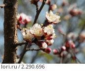 Купить «Цветение абрикоса», фото № 2290696, снято 25 апреля 2009 г. (c) Екатерина Белоусова / Фотобанк Лори