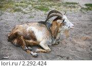 Купить «Отдыхающая коза», фото № 2292424, снято 25 июля 2010 г. (c) Наталья Волкова / Фотобанк Лори