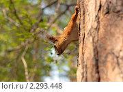 Белка. Стоковое фото, фотограф Смирнов Владимир / Фотобанк Лори