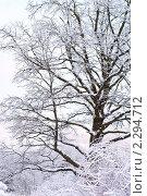 Купить «Дуб в снегу», фото № 2294712, снято 1 января 2011 г. (c) Купченко Владимир Михайлович / Фотобанк Лори