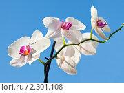 Купить «Цветок белой орхидеи на фоне голубого неба», фото № 2301108, снято 26 мая 2019 г. (c) ElenArt / Фотобанк Лори
