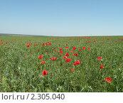 Купить «Поле пшеницы с красными маками», фото № 2305040, снято 8 июня 2009 г. (c) Екатерина Белоусова / Фотобанк Лори