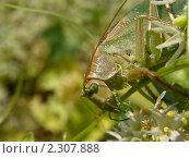 Зеленый кузнечик на зеленом фоне. Стоковое фото, фотограф Юрий Васильев / Фотобанк Лори