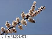 Купить «Цветущая вишня», фото № 2308472, снято 18 апреля 2010 г. (c) Сергей Семин / Фотобанк Лори