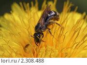 Купить «Пчелка», фото № 2308488, снято 16 июля 2009 г. (c) Сергей Семин / Фотобанк Лори