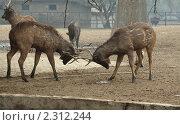 Купить «Самцы оленей сражаются рогами. Национальный зоопарк в Дели, Индия», фото № 2312244, снято 29 декабря 2010 г. (c) Вера Тропынина / Фотобанк Лори