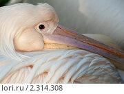 Пеликан. Стоковое фото, фотограф Дмитрий Загорский / Фотобанк Лори