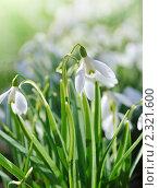 Купить «Подснежники», фото № 2321600, снято 11 апреля 2010 г. (c) Литова Наталья / Фотобанк Лори
