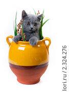 Купить «Голубой британский котенок в горшке», эксклюзивное фото № 2324276, снято 5 февраля 2011 г. (c) Куликова Вероника / Фотобанк Лори