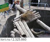 Купить «Енот в Московском зоопарке», эксклюзивное фото № 2325860, снято 12 сентября 2010 г. (c) lana1501 / Фотобанк Лори