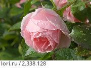 Купить «Розовые розы», фото № 2338128, снято 24 августа 2009 г. (c) Сергей Семин / Фотобанк Лори
