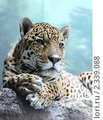 Купить «Московский зоопарк, Ягуар», эксклюзивное фото № 2339088, снято 12 февраля 2011 г. (c) Дмитрий Неумоин / Фотобанк Лори