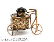 Купить «Щенок йоркширского терьера», фото № 2339264, снято 21 ноября 2010 г. (c) Ирина Игумнова / Фотобанк Лори