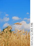 Рожь. Стоковое фото, фотограф Виталий Пушков / Фотобанк Лори