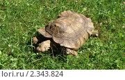 Сухопутная черепаха. Стоковое фото, фотограф Лариса Дамьян / Фотобанк Лори