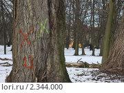 Дерево в парке, помеченное на вырубку. Стоковое фото, фотограф Евгения Нижегородцева / Фотобанк Лори