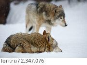Волки. Стоковое фото, фотограф Анатолий Аверьянов / Фотобанк Лори