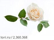 Купить «Белая роза на белом фоне», фото № 2360368, снято 1 июня 2009 г. (c) Тарханов Николай Алексеевич / Фотобанк Лори