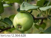 Яблоко зелёное. Стоковое фото, фотограф Стасис Иогминас / Фотобанк Лори