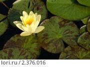 Кувшинка гибридная желтая с пестрыми листьями. Стоковое фото, фотограф Титова Елена / Фотобанк Лори