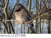 Сойка на ветке зимой. Стоковое фото, фотограф Сергей Прокопьев / Фотобанк Лори
