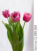 Сиреневые тюльпаны. Стоковое фото, фотограф Александр Зубарев / Фотобанк Лори