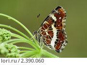 Купить «Пестрокрыльница изменчивая», фото № 2390060, снято 26 июня 2010 г. (c) Игорь Семенов / Фотобанк Лори