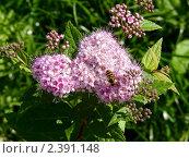 Пчела на цветке. Стоковое фото, фотограф Клычникова  Наталья / Фотобанк Лори