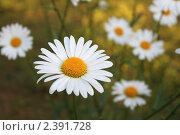 Купить «Дикорастущие ромашки», фото № 2391728, снято 6 августа 2008 г. (c) Юлия Бабкина / Фотобанк Лори