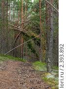 Купить «Таёжный сосновый лес», фото № 2393892, снято 8 июля 2010 г. (c) Михаил Иванов / Фотобанк Лори