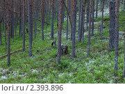 Купить «Таёжный сосновый лес», фото № 2393896, снято 9 июля 2010 г. (c) Михаил Иванов / Фотобанк Лори