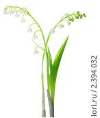 Купить «Лесной ландыш (Convallaria Majalis) на белом фоне», фото № 2394032, снято 13 февраля 2011 г. (c) Аnna Ivanova / Фотобанк Лори