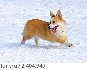 Купить «Собака породы вельш корги пемброк бежит по снегу», фото № 2404940, снято 13 марта 2011 г. (c) Сергей Лаврентьев / Фотобанк Лори